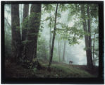Fawn in misty woods