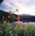 Turk's Cap Lily with Grandfather Mountain in background