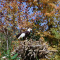Bald Eagle at Grandfather Mountain