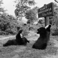 Bear cubs at Grandfather Mountain