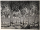 Pacific Islands palm forest