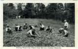 Drawing Plants from Tobacco Seed Bed on a Carolina Plantation