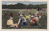 Strawberry Picking, Coastal Plain Station near Wallace, N.C.