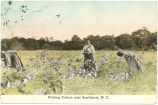 Picking Cotton near Southport, N.C.