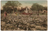 Cotton Picking Time, Southern Pines, N.C.